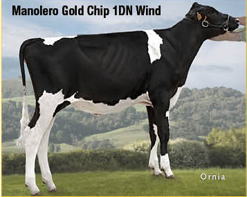 Manolero Gold Chip 1DN Wind