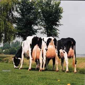 3 generations of the RITA cow family