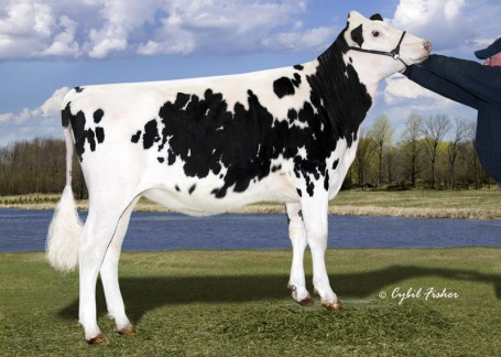 MS Dreary Dreima | As maiden heifer