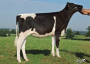 Maybellinge Tual as a maiden heifer