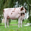 Maternal sister: Blondin Avalanche Darleen-Red VG-87-CAN 2yr.