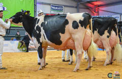 PEAK Goldwyn Rhapsody EX-97-UK  - GAND CHAMPION