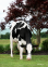 Ms DG Delta Bridgett VG-86-USA her BUNGALOW embryos are selling